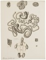 Lagomys pusillus - ingewanden - 1700-1880 - Print - Iconographia Zoologica - Special Collections University of Amsterdam - UBA01 IZ20600169.tif