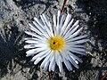 Lampranthus reptans (2).jpg
