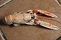 Langoustine Nephrops norvegicus 07062010 7.jpg