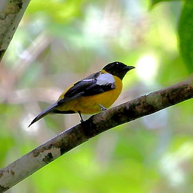 Lanio versicolor - White-winged Shrike-Tanager.JPG