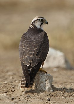 Lanner falcon, Falco biarmicus, at Kgalagadi Transfrontier Park, Northern Cape, South Africa (33767245913).jpg