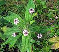 Lantana trifolia (11627892105).jpg