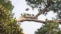 Large Green Pigeons (14161217046).jpg