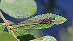 Large red damselfly (Pyrrhosoma nymphula) male Swinley.jpg