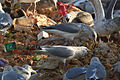 Larus smithsonianus - eating rubbish.jpg