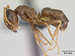 Lasius neglectus casent0173143 profile 1