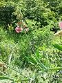 Lathyrus latifolius sl29.jpg