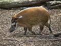 Laufendes Pinselohrschwein Zoo Landau.JPG