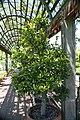 Laurus nobilis 0zz.jpg