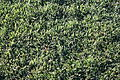 Lawn types - Cynodon Princess - South African tough indigenous droughttolerant Cynodon variety.jpg