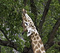 Le cou de la girafe.jpg