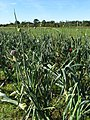 Leek (Allium ampeloprasum var. porrum) ready for harvesting - geograph.org.uk - 584750.jpg