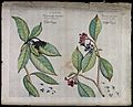 Left and right - Chasalia ophioxyloides (Wall.) Craib.; bran Wellcome V0042639.jpg