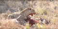 Leopard eats alive Warthog ✰Amaizing Video HD 1.png
