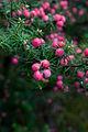 Leptecophylla juniperina 1.jpg