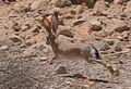 Lepus capensis sinaiticus, Israel 6.jpg