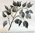 """Les merveilles de l'industrie, 1873 """"Branche de Broussonetia (mûrier à papier) en usage au Japon pour la fabrication du papier"""" (4723594057).jpg"""