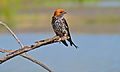 Lesser Striped Swallow (Hirundo abyssinica) (6817923767).jpg