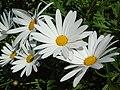 Leucanthemum × superbum.001 - Burela.jpg