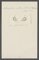 Leucophra pertusa - - Print - Iconographia Zoologica - Special Collections University of Amsterdam - UBAINV0274 113 16 0018.tif