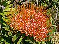 Leucospermum erubescens 4.jpg