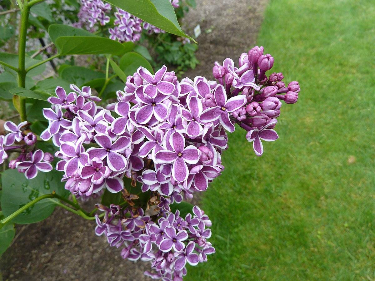 617fad0bc944 Hulda Klager Lilac Gardens - Wikipedia