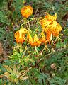 Lilium humboldtii 1.jpg