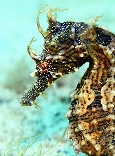 Lined seahorse species of fish