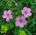 Linum-pubescens-Zachi-Evenor-003.jpg