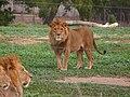 Lion-SRG001.jpg