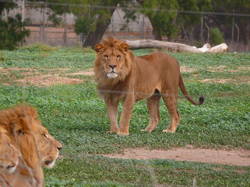 Lion-SRG001