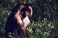 Lion-tailed Macaque (Macaca silenus) (19731881849).jpg