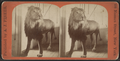 Lion in Central Park, New York, from Robert N. Dennis collection of stereoscopic views.png
