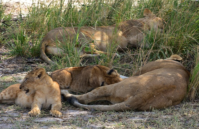 File:Lionesses with cubs, Selous Game Reserve (28) (28436353633).jpg
