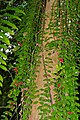 Lipstick Plant (Aeschynanthus tricolor) (23341903181).jpg