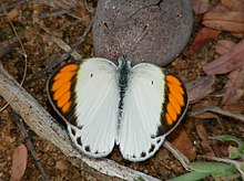 Little Orange Tip Colotis etrida (male).jpg