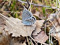 Little butterfly in the taiga.jpg