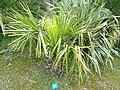 Livistona decipiens - Jardin d'oiseaux tropicaux - DSC04890.JPG