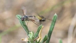 File:Lomatia lateralis - 2014-06-26.webm