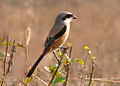 Long Tailed Shrike.jpg