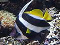 Longfin Bannerfish (Heniochus acuminatus) 01.jpg