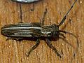 Longhorn Beetle (Cerambycidae) (11709966103).jpg