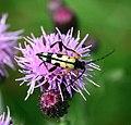 Longhorn beetle (Strangalia maculata) - geograph.org.uk - 496818.jpg