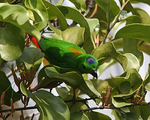 Blue-crowned hanging parrot - Male, Singapore