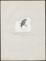 Loriculus stigmatus - 1872 - Print - Iconographia Zoologica - Special Collections University of Amsterdam - UBA01 IZ18500278.tif