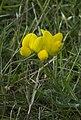 Lotus pedunculatus, De Slufter, Texel (9211512840).jpg