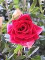 Love and Roses กุหลาบกับความรัก (17).jpg