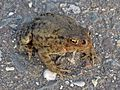 Lucilia bufonivora (Calliphoridae sp.) infected Toad (Bufo bufo), Arnhem, the Netherlands.jpg
