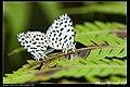 Lycaenidae (5684076964).jpg