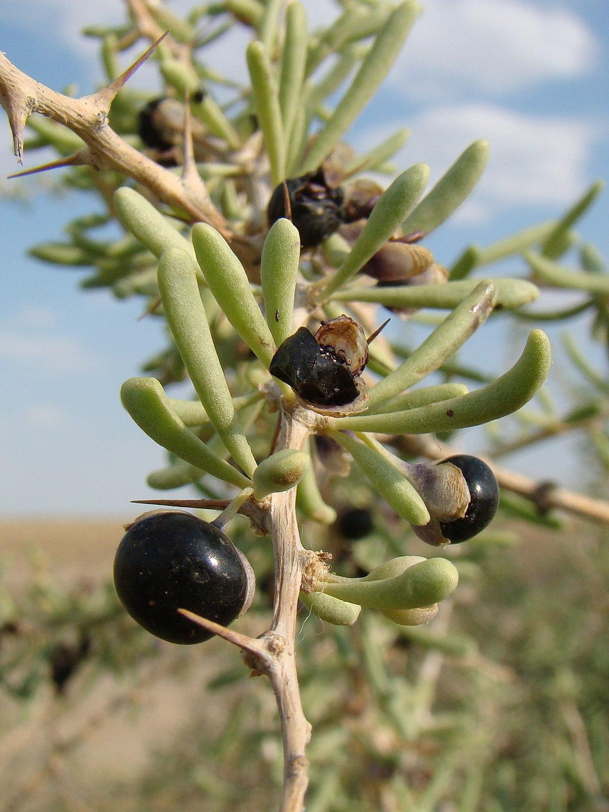 Lycium Ruthenicum Wikipedia